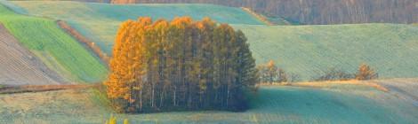 美瑛 マイルドセブンの林