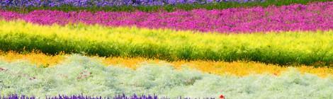 ファーム富田 彩りの畑 最盛期