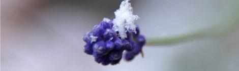 咲き遅れのラベンダー