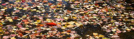 池の落ち葉